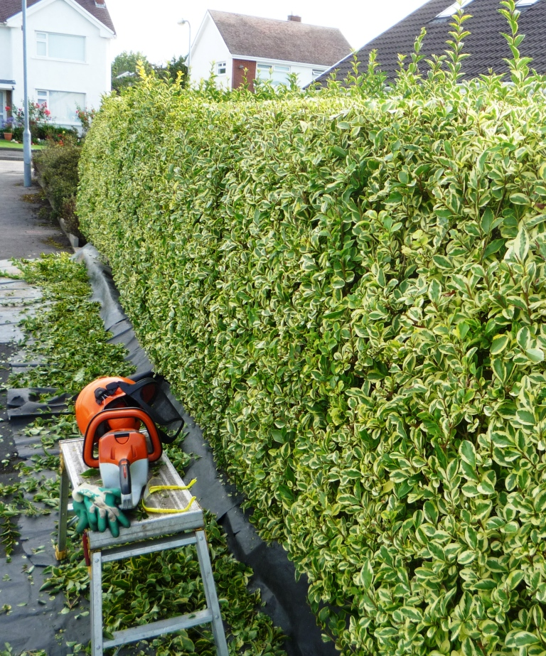 hedge cutting frenzy pulling weeds. Black Bedroom Furniture Sets. Home Design Ideas